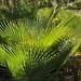 Palm leaves (used for making hats and baskets) -  palmas cerca de Guadalupe Hidalgo, Región Mixteca, Oaxaca, Mexico por Lon&Queta
