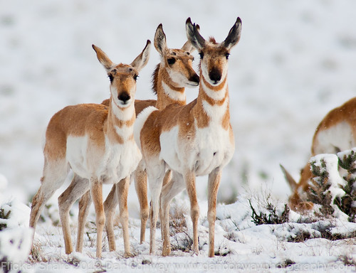 Northern Pronghorn - AZ Game & Fish Winner by Dan W Conway