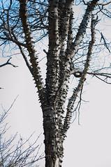 Ear tree