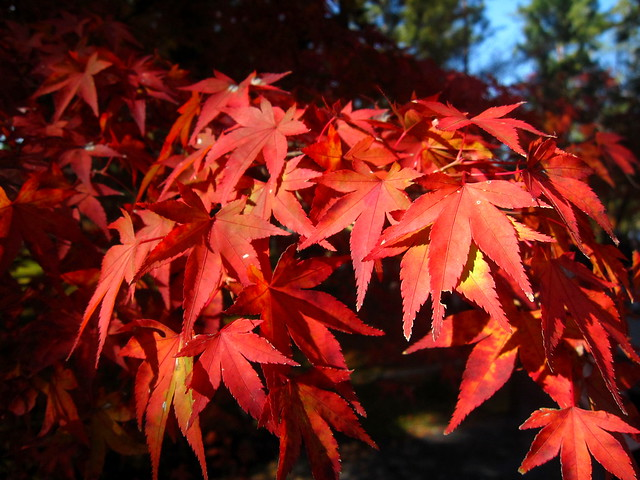 紅葉 Red leaves