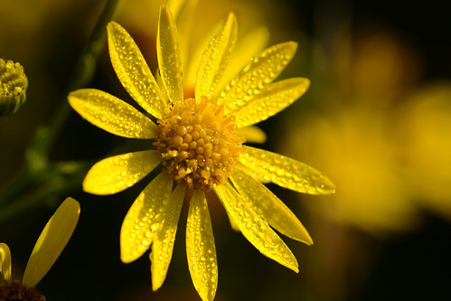 Ragwort (Oxford) by 4harmony2 (thanks for all your well wishes )