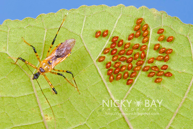 Assassin Bug (Reduviidae) - DSC_5079