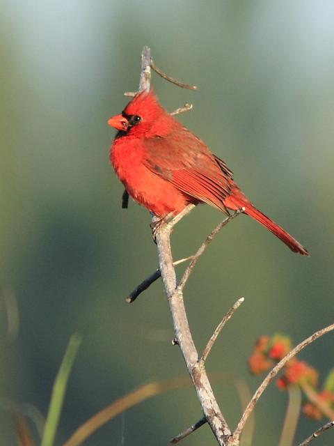 Northern Cardinal 20121125