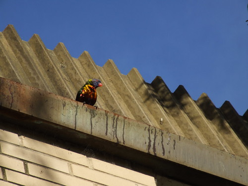 lorikeet in gutter