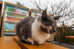 Cat from Kamakura, Kanagawa Prefecture, Japan