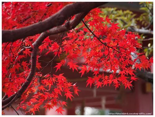 Red Leaves on Tsushima Srine #01