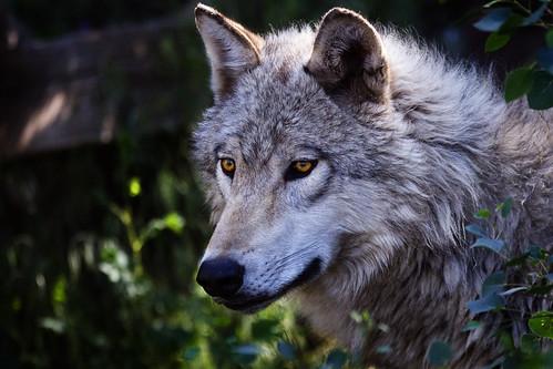 Grey Wolf by doublejwebers