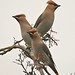 waxwings at top of rowen tree