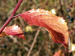 Blackthorn (Prunus spinosa) autumn leaf
