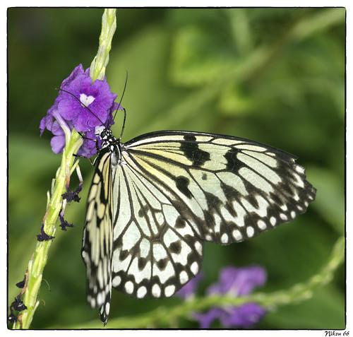 butterfly nikon d800 missouribotanicalgarden butterflyhouse faustpark 105mmmicronikkor ©copyright