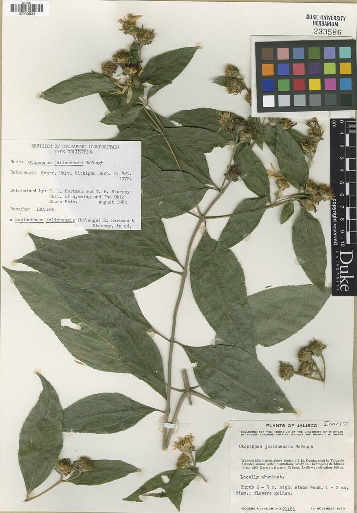 Asteraceae_Otopappus jaliscensis