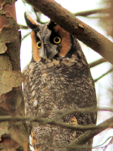 Long-eared Owl 20121103