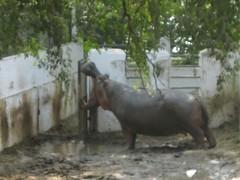 Bull Hippopotamus