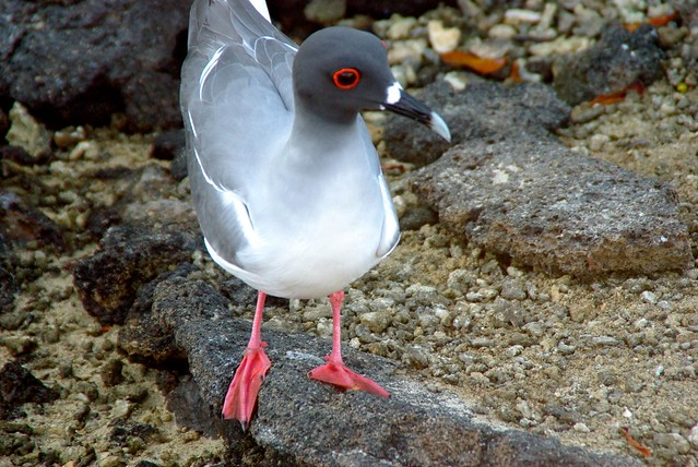Swallow-tailed Gull in Galapagos