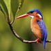 Malachite Kingfisher, Funzi, Kenya, Nov. 2012 by Olivier DELAERE