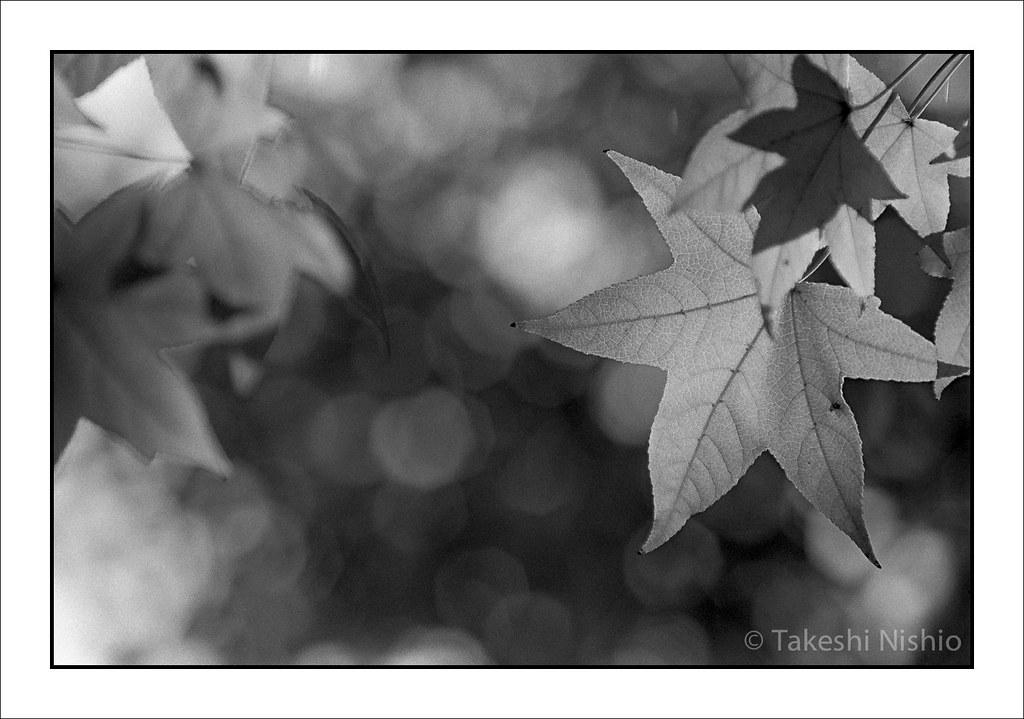 葉脈が透けて見える / Transparent, Leaf vein