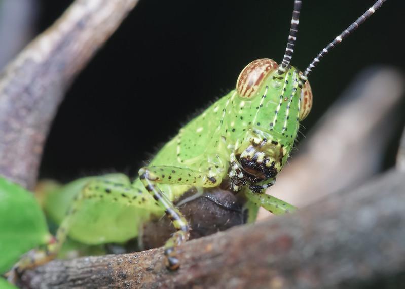 [IMGP0483-pp] Grasshopper