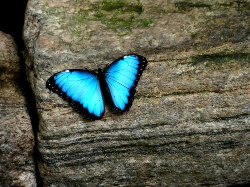 turquoise-butterfly