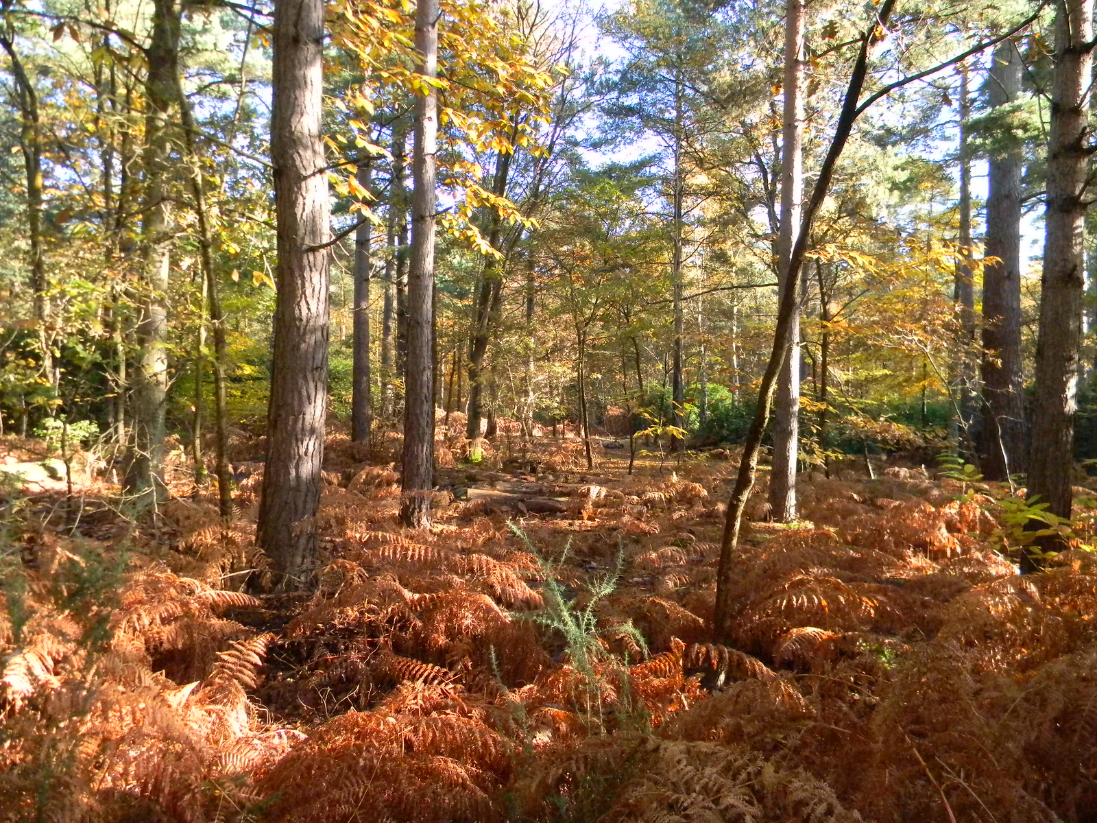 Birch and bracken Woods near Wellington College. Crowthorne to Sandhurst (avoiding Eversley)