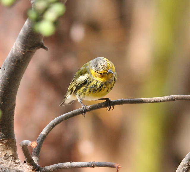 cape may warbler (3)