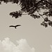 Black Kite and canopy