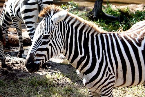 AK_SafariRide_Zebras