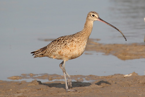 Long-billed Curlew by ricmcarthur