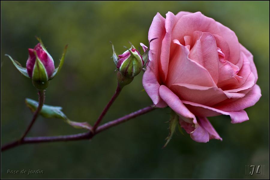 La dernière rose ... 8190056969_eda2c866f2_o