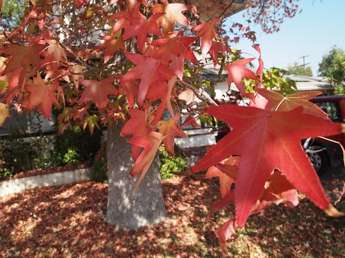 Fall color in Los Angeles - 3