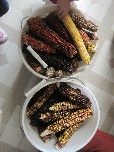 Hand picked Indian Corn