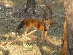 animal, dingo, red wolf, mammal, jackal, fauna, red fox, dhole, wildlife,