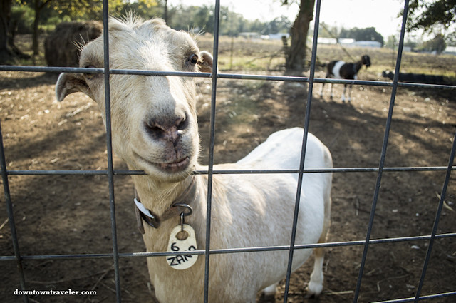 A friendly goat at Belle Ecore Farms in Louisiana Cajun Country