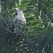 Palmnut Vulture by Ed Drewitt