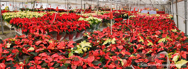 Color Tour ... Poinsettias!