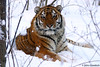 A stunning Amur tiger, taken by Panthera's Senior Tiger Program Director, Dr. John Goodrich