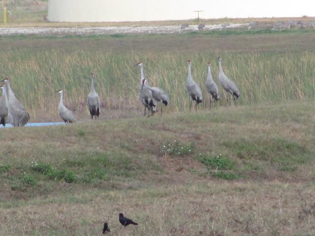 Sandhill cranes and crows