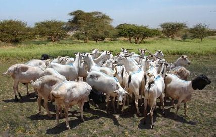 Batch of export quality Somali sheep and goats
