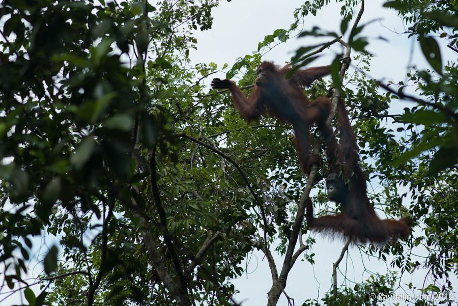 орангутаны борнео