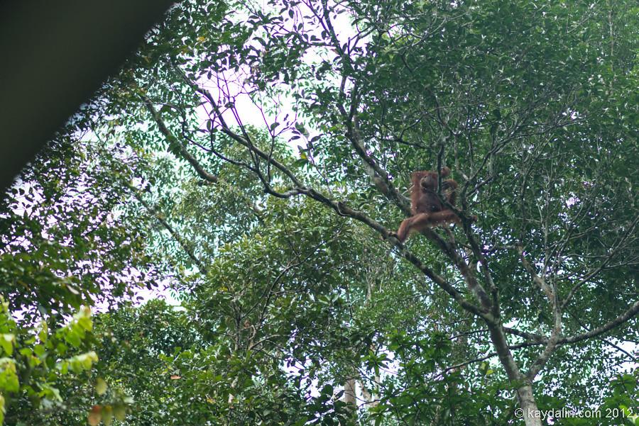 орангутан Semenggoh