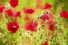 Art of Poppy by David Tovey