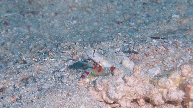 テッポウエビが派手すぎて見つけたオニハゼ幼魚ちゃん♪