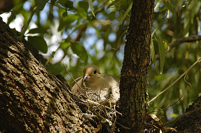 Zenaida macroura (Mourning Dove) nest