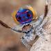 _X8A6796 (2) peacock spider Maratus speciosus by Jurgen Otto