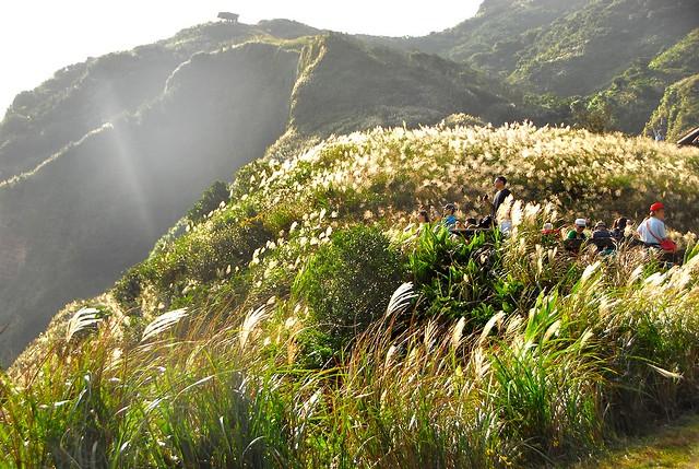 草嶺芒花季