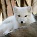 Small photo of Arctic Fox