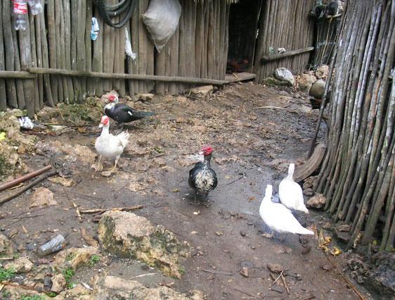 ducks-turkeys