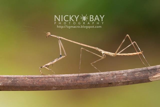 Stick Mantis? (Mantodea) - DSC_7017