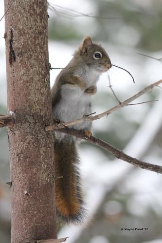 canada squirrels tamiasciurushudsonicus americanredsquirrel timminsontario herseylakeconservationarea