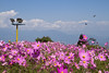 Kanchenjunga, Flowers & Butterfly from Batasia Loop