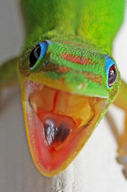 Big Island Gecko